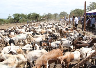 Goats auctioned at Baingoror Grounds,Sigowet Constituency (1)