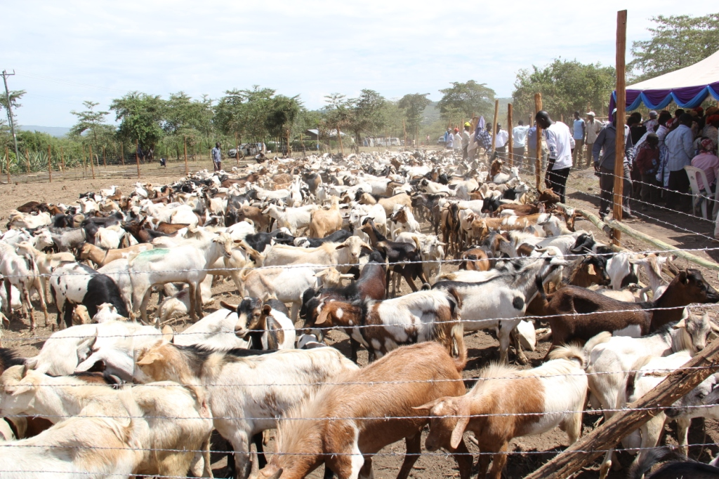 Goats auctioned at Baingoror Grounds,Sigowet Constituency(1)